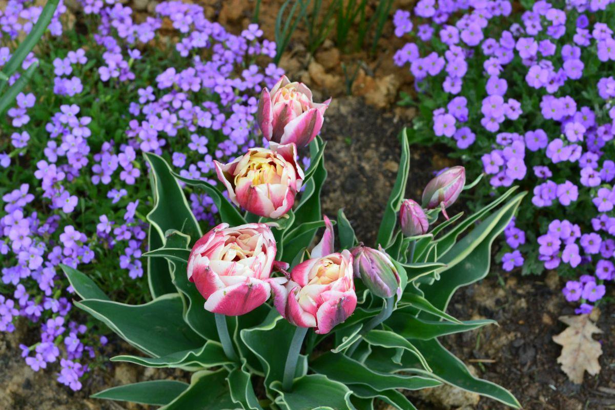 09_zahrada_jaro_tulipan