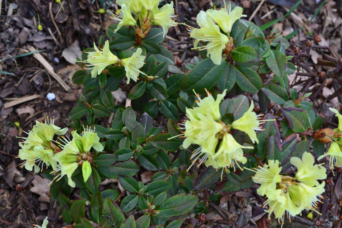 12_zahrada_jaro_rododendron