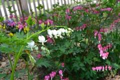 24_zahrada_jaro_srdcovka