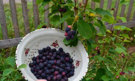 Sklízíme první ovoce